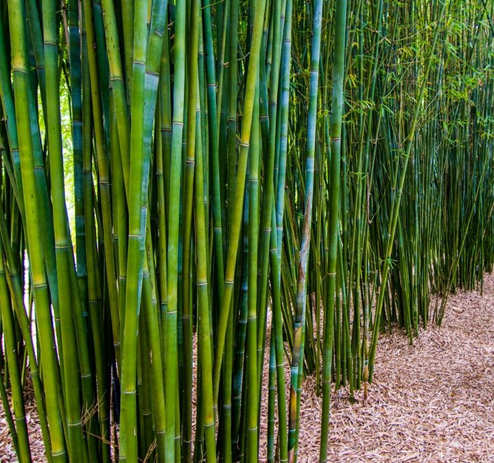 COOL NEW 2021 !! DIY Guide On How To Plant Clumping Bamboo